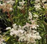 Mädesüß Elegans - Filipendula purpurea - Vorschau