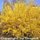 Forsythie Goldzauber 30-40cm - Forsythia intermedia