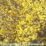 Forsythie Lynwood 100-125cm - Forsythia - Vorschau