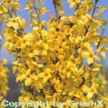 Forsythie Minigold 40-60cm - Forsythia intermedia