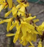 Zwerg Forsythie Nimbus 30-40cm - Forsythia intermedia