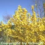 Hochstamm Forsythie Week End® 60-80cm - Forsythia intermedia - Vorschau