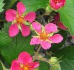 Garten Erdbeere Pink Panda - Fragaria ananassa - Vorschau