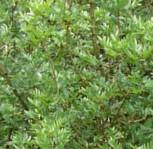 Afghanische Esche 40-60cm - Fraxinus xanthoxyloides - Vorschau