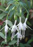 Fuchsie Alba - Fuchsia magellanica
