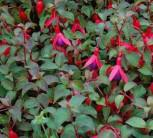 Fuchsie M. Popple - Fuchsia magellanica