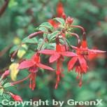 Fuchsie Riccartoni - großer Topf - Fuchsia magellanica