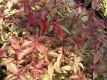 Fuchsie Tricolor - Fuchsia magellanica