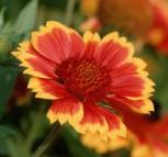 Kokardenblume Dark Bicolor - großer Topf - Gaillardia gallo