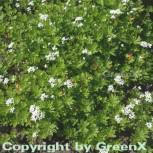 Waldmeister - Galium odoratum