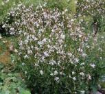Prachtkerze Whirling Butterflies - Gaura lindheimeri - Vorschau