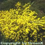 Sandginster Lemon Spreader 20-30cm - Genista pilosa