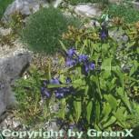 Schwalbenwurz Enzian - Gentiana asclepiadea