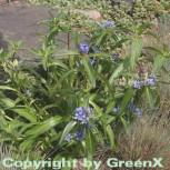 Kreuzenzian - Gentiana cruciata