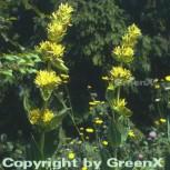Gelber Enzian - Gentiana lutea