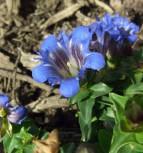 Sommerenzian Select - Gentiana septemfida
