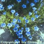 Herbstenzian - Gentiana sino ornata - Vorschau