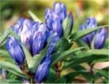 Japanischer Enzian - Gentiana triflora
