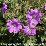 Storchschnabel Sirak - Geranium Gracile - Vorschau