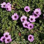 Storchenschnabel Laurence Flatman - Geranium cinereum