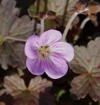 Storchenschnabel Dusky Crug - Geranium cultorum - Vorschau