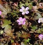 Storchenschnabel Tanya Rendall - Geranium cultorum - Vorschau