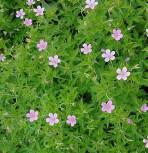 Rosa Storchschnabel - Geranium endressii