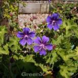 Blauviolett Storchenschnabel Vital - Geranium ibericum