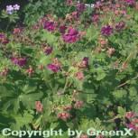 Balkanstorchschnabel Czakor - Geranium macrorrhizum