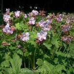 Balkanstorchschnabel White-Ness - Geranium macrorrhizum