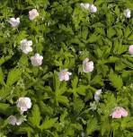 Storchenschnabel Chatto - Geranium maculatum - Vorschau