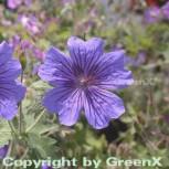 Pracht Storchschnabel Rosemoor - Geranium magnificum