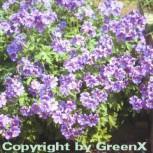 Pracht Storchschnabel - Geranium magnificum