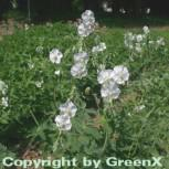 Brauner Storchenschnabel Album - Geranium phaeum