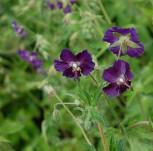 Storchenschnabel Lilly Lovell - Geranium phaeum - Vorschau