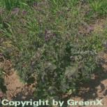 Storchenschnabel Samobor - Geranium phaeum