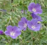 Wiesenstorchschnabel Brookside - Geranium pratense