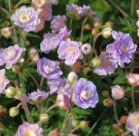 Wiesenstorchschnabel Summer Skies - Geranium pratense - Vorschau
