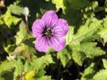 Schwarzäugiger Storchschnabel Ann Folkard - Geranium psilostemon
