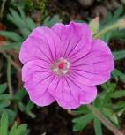 Storchenschnabel Ankums Pride - Geranium sanguineum