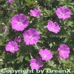 Storchenschnabel Max Frei - Geranium sanguineum