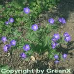 Waldstorchschnabel Mayflower - Geranium sylvaticum
