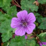 Storchenschnabel Pink Penny - Geranium wallichianum - Vorschau