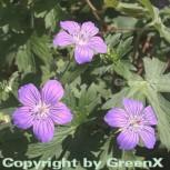 Sibirische Storchschnabel - Geranium wlassovianum