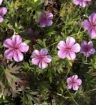 Japanischer Storchschnabel - Geranium cultorum