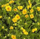 Nelkenwurz Goldball - Geum chiloense