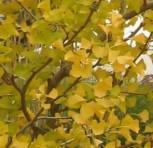 Gelber Ginkgo Beijing Gold 125-150cm - Ginkgo biloba - Vorschau