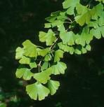 Fächerblattbaum Blagon 60-80cm - Ginkgo biloba