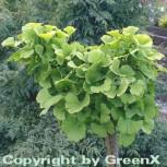 Kugel Fächerblattbaum 20-25cm - Ginkgo biloba - Vorschau