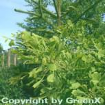 Fächerblattbusch Saratoga 125-150cm - Ginkgo biloba